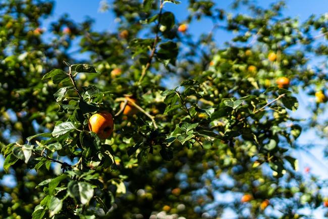 Štrúdlojízda vyvrcholila vítězstvím jabloně u Lidmanů z Machova v anketě Strom roku